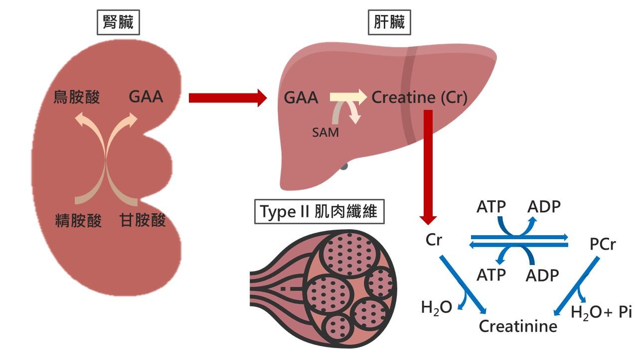 肌酸合成及作用路徑